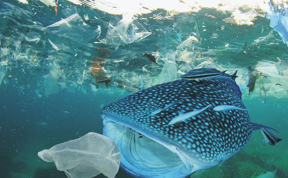 Zagađenje oceana plastikom: kitopsina se hrani u zagađenim vodama i guta plastiku