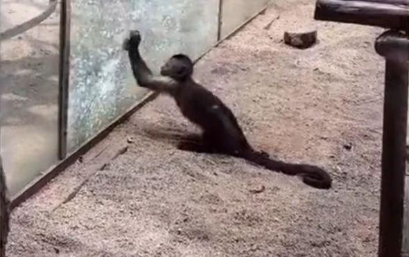 Domišljati majmun (Foto: Screenshot/YouTube)