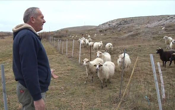 Čagljevi ugrozili paško ovčarstvo (Foto: Dnevnik.hr) - 4