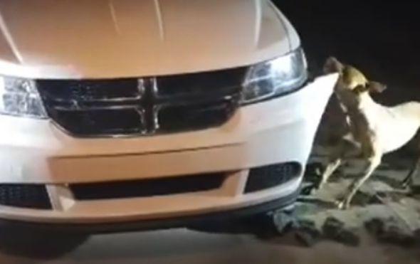 zatekla je psa kako joj demolira automobil i zatrazila od policajca da ga upuca nije htio