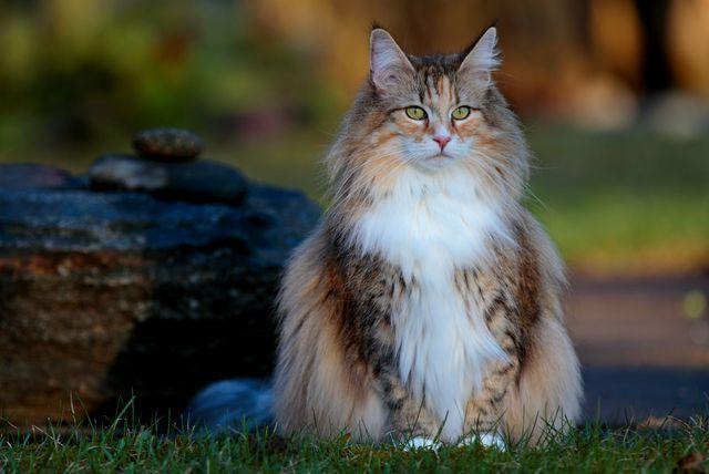 Norveška šumska mačka - 5