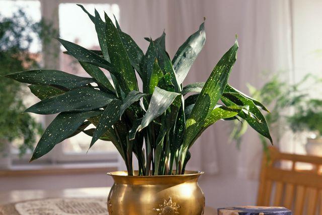 Aspidistra je biljka koja može preživjeti u svakakvim uvjetima - 2