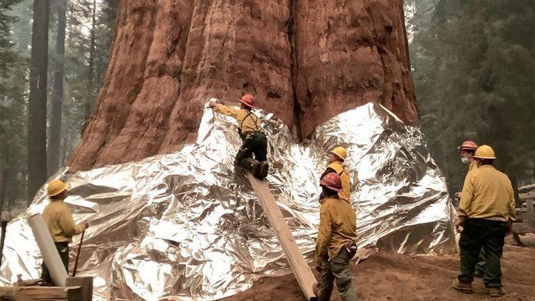 Kalifornijski vatrogasci aluminijskom folijom omataju sekvoje da ih zaštite od požara - 1