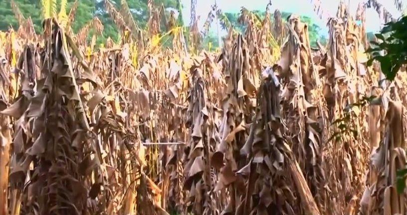 Banane propadaju (Foto: Dnevnik.hr)