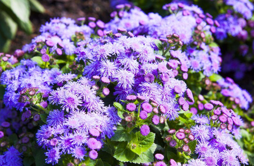 Mirisna kunica ima cvjetove najčešće plavkaste boje