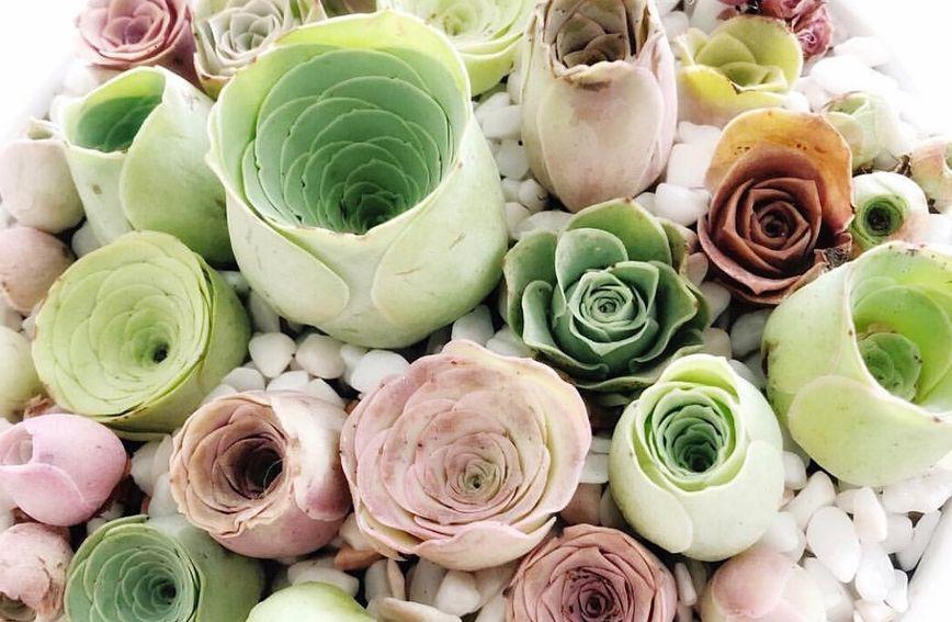 Ružica-sukulent osvaja svojim romantičnim izgledom