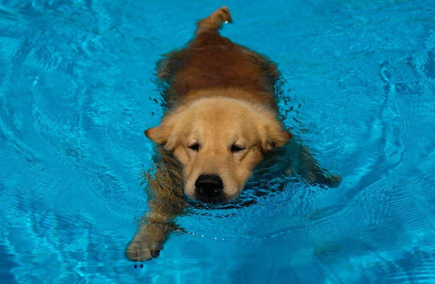 Zlatni retriver jedan je od najvećih ljubitelja vode među psima