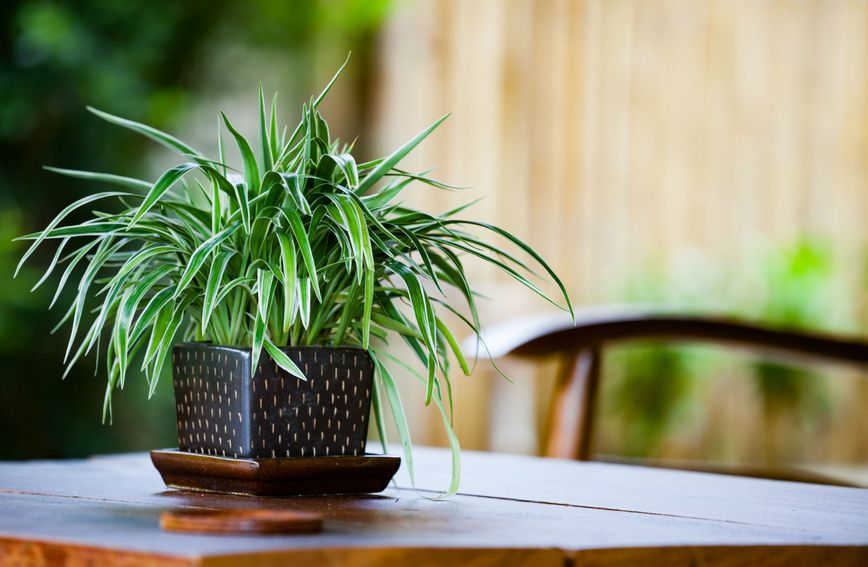 Zeleni ljiljan idealan je izbor za početnike
