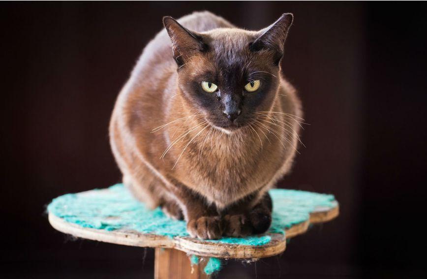 Burmanska mačka obožava sjediti u krilu i maziti se u svakoj prilici