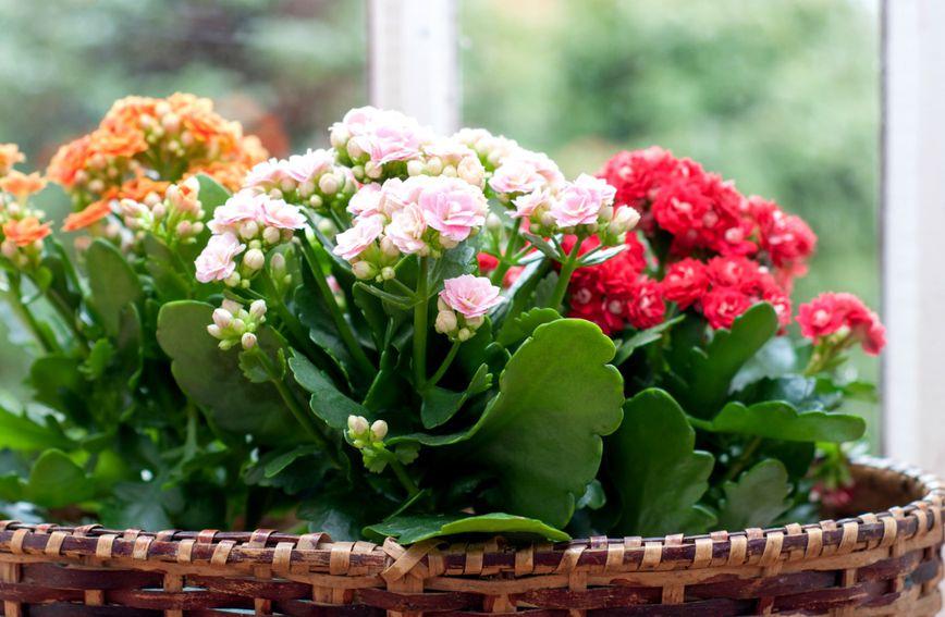 Raznobojni cvjetovi biljke kalanhoa