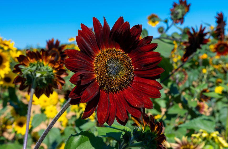 Čokoladni suncokret još je čarobnija varijanta popularnog cvijeta