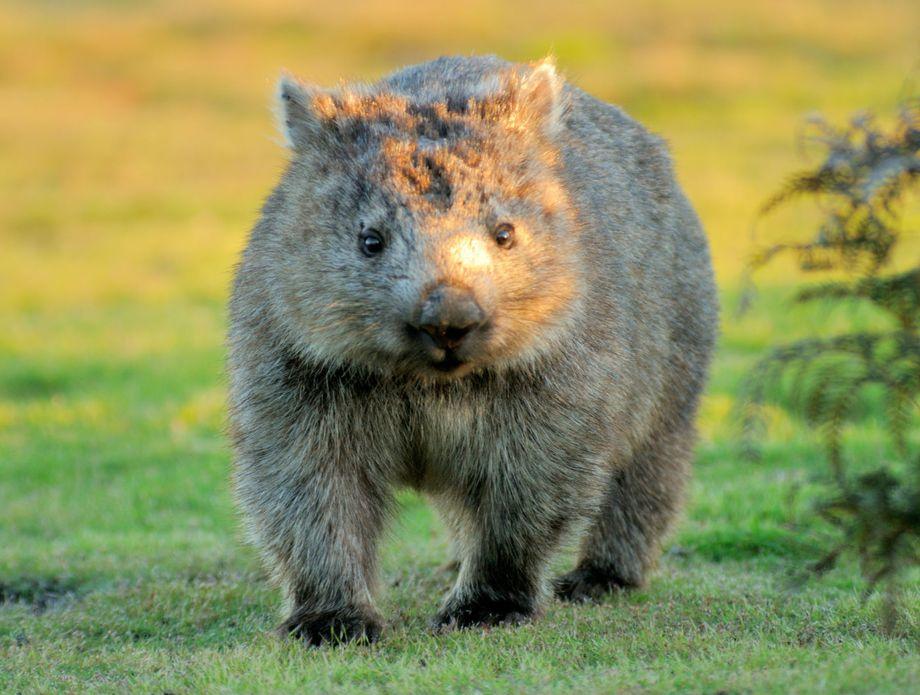 Wombat - 1