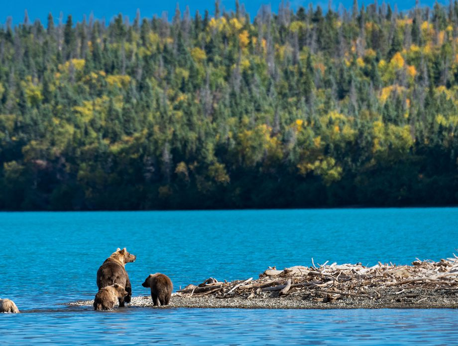 Katmai Smeđi medvjed