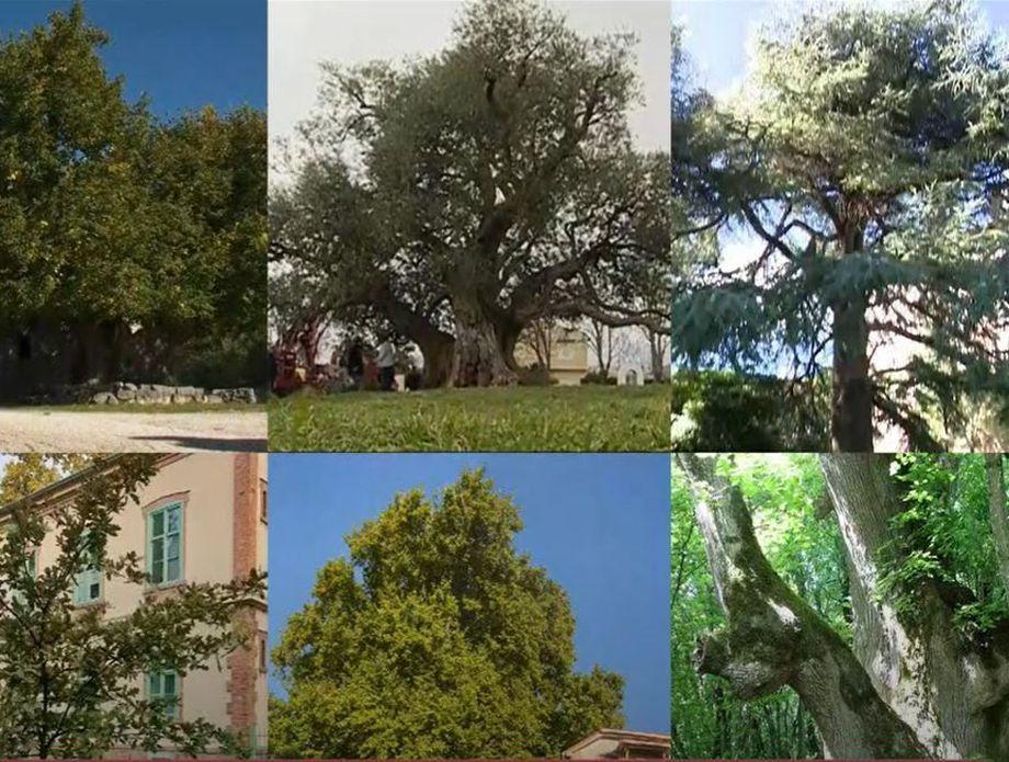 Izbor za hrvatsko stablo godine - 10