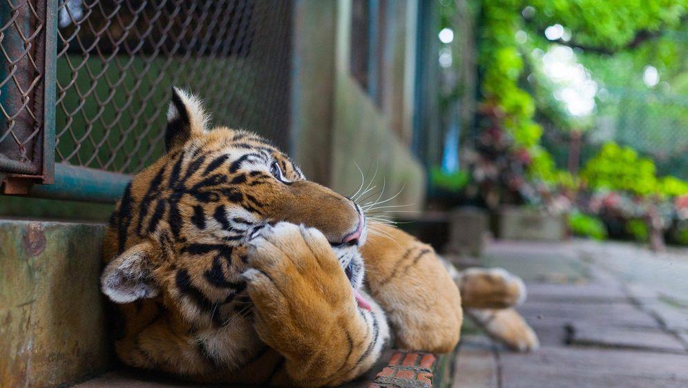 Očito ima i onih koji ne znaju da je ovo tigar (FOTO: Profimedia)