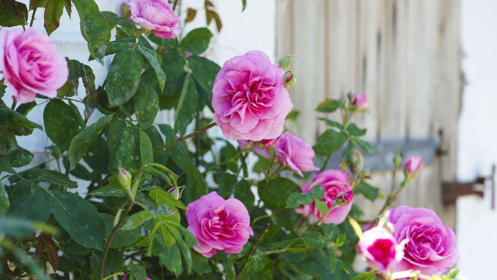 Ruže su kraljice svakog vrta