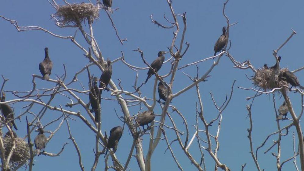Odstrel kormorana na ribnjacima (Foto: Dnevnik.hr) - 1