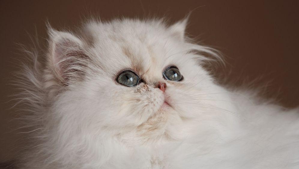 Perzijska mačka želi kraljevski tretman i gotovo uvijek ga dobije