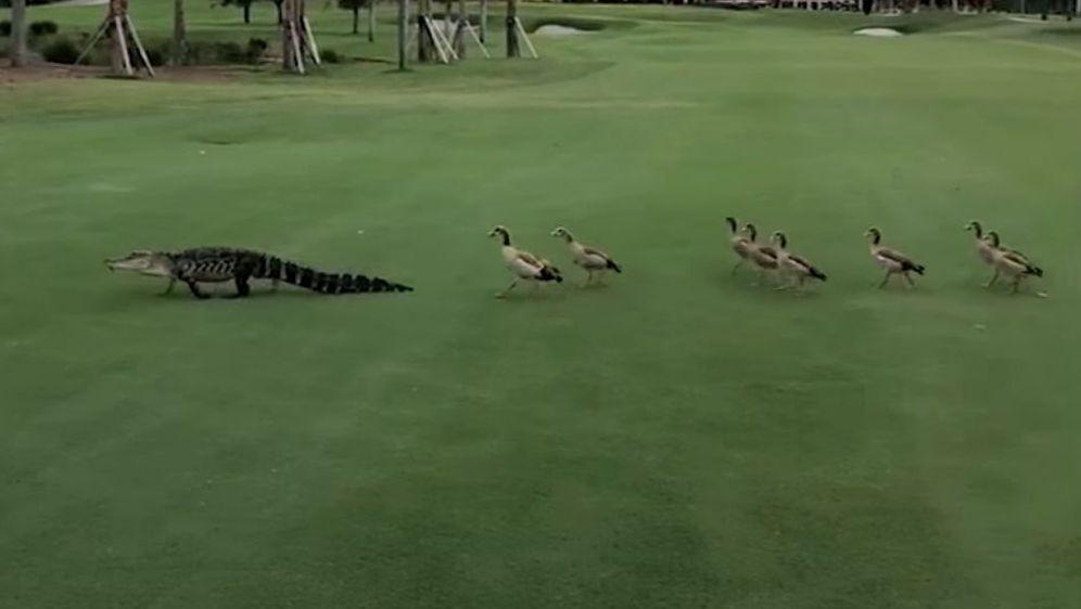 Aligator i guske (Foto: Screenshot/YouTube)