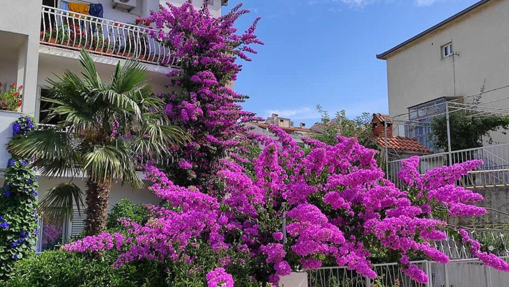 Veličanstvena bugenvilija koja krasi Denisovu kuću oduševljava i domaće i turiste