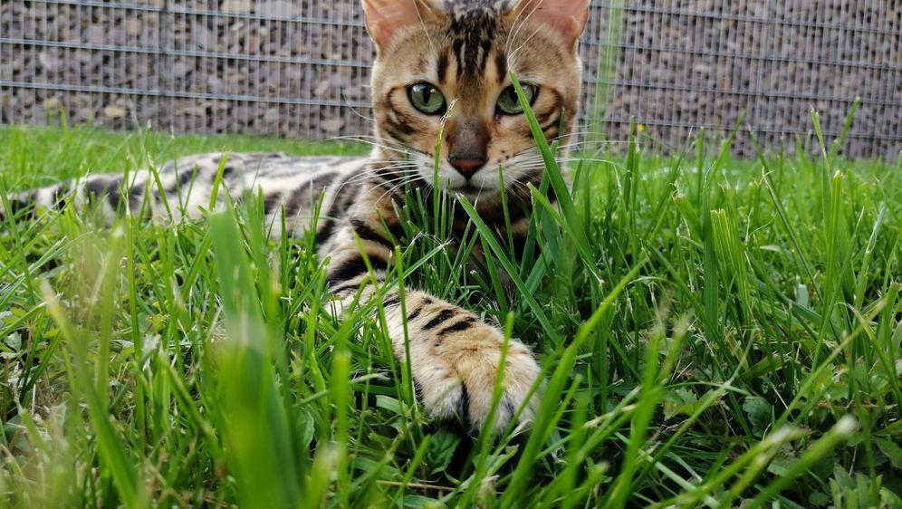 Bengalska mačka zbog svojeg točkastog krzna podsjeća na leoparda