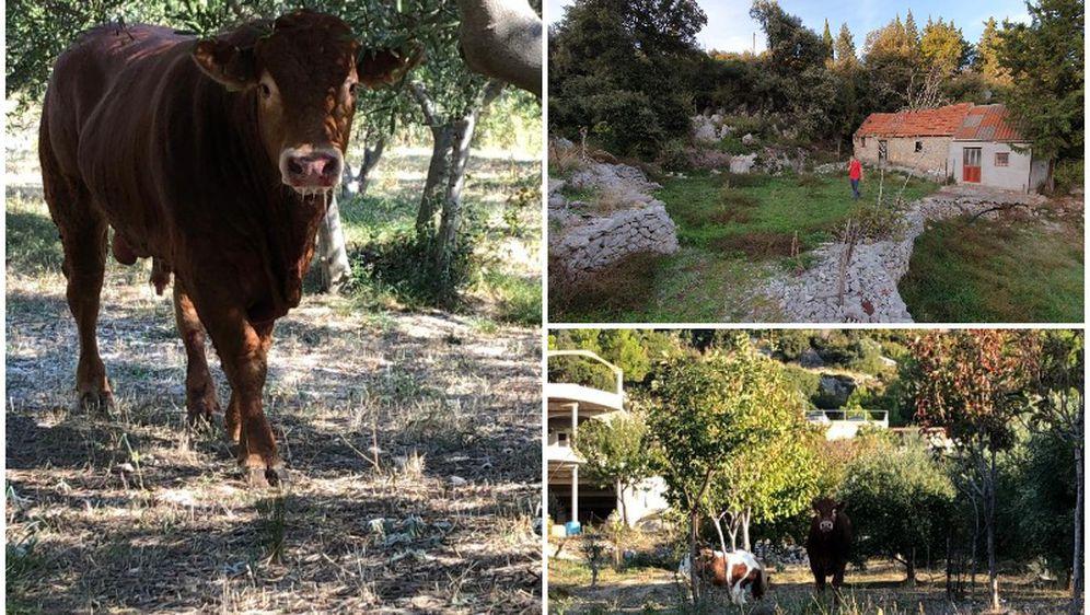 Zadnje fotografije bika Jerryja (Foto: Dnevnik.hr)