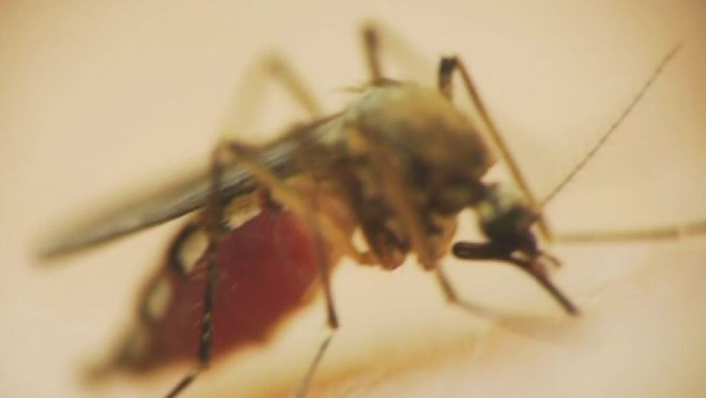 Komarac, ilustracija